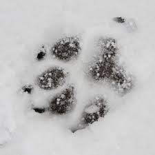 Animal Custody Attorneys. Dog footprint in the snow